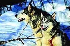 Trineo de Perros - Termas de Chillán
